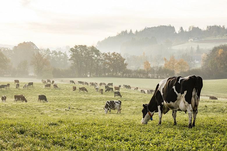 Молочные коровы в Чувашии